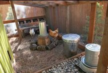 Backyard Chikens