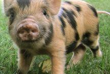 Minipig. / Oink oink