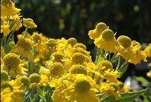For the Home Garden / Flowerbulbs and perennials that make fantastic garden plants for enjoyable gardening - no high maintenance headaches here!
