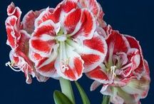 Amaryllis Flower Bulbs / The Large Amaryllis Flower really makes a statement in your home, great for holiday giving and decorating.