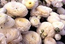 Ranunculus / Ranunculus are extraordinary flowers grown from the strangest looking bulbs we have seen! Tecolote ranunculus are prized by florists for their tall, straight stems, large blooms, hundreds of petals, and a high flower production per bulb.