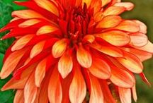 Dahlia Flower Bulbs / The beautiful full flowers in a large selection of colors to brighten up your garden in the spring.