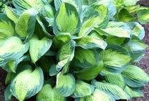 Shade Lovers - Bleeding Hearts, Astilbe & Hosta... / Extraordinary color, texture and fragrance for your shady garden!