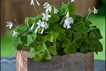Oxalis Shamrock Gifts - Pre-planted  (FREE Shipping!) / Oxalis make very long-lived houseplants.  Cheerful shamrocks, bringing good luck and easy color indoors.  Sensitive to light, the shamrocks fold their leaves at night, looking like a cluster of little butterflies.  Charming!  Pre-planted Oxalis Shamrock Gifts include Free Shipping!