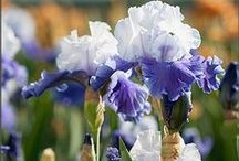 Reblooming Bearded Iris / Bearded Iris offer a glorious array of colors in huge, flamboyant blooms - often with fragrance!  Why not enjoy these blooms twice - or even several times a year?  Reblooming Bearded iris bloom 2-6 times per year, depending upon the climate and growing conditions.  Enjoy!