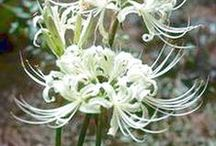 Belladonna and Lycoris / Amaryllis Belladonna and Lycoris are fabulous blooms in the late summer garden.  Drought tolerant, attractive to butterflies and hummingbirds and highly resistant to deer and rabbits. The beautiful blooms go by many names - Surprise Lilies, Naked Ladies, Magic Lilies, Resurrection Lilies and more...