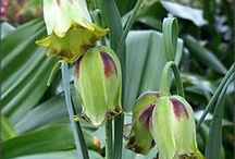 Fritillaria Bulbs & Blooms / Fritillaria seem to come in all shapes, colors and sizes - some seem inspired by Dr. Seuss! All are tough, interesting and deer resistant!  Enjoy!