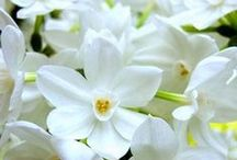 Paperwhite Bulbs / Paperwhites bloom clouds of fragrant blooms indoors in the winter - just when you most need a breath of spring!  We offer the biggest, best paperwhite bulbs available!  Because quality matters.