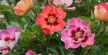 Sweet Spot Roses / Sweet Spot Roses - the exciting new decorator rose from Anthony Tesselaar produce multi-colored blooms for months spring through fall. Excellent in containers and self-cleaning