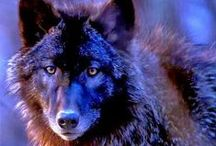 THE WOLF... / Wild Dog, Much maligned ,yet the ancestor of all our pet and working dogs...Hunt and live as a family group,have a wide territory guarded to the death ... / by Pauline Yvonne West