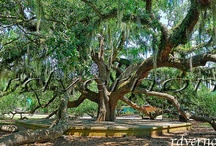 Hammond Oaks / Hammond, La is known for our Historic live Oaks all around. / by Hammond Chamber