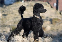 Standard Poodle / Yes. I have two Standard Poodles, Boomer and Allie. Best breed ever!  Beauty, brains, and Athletes. / by Sharon Cabral