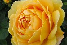 Yard/kitchen garden--roses / by MS Bradshaw