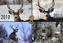 "The ""Browning Buck."" / Over the past few years our Browning Webmaster has been keeping a close eye on a certain buck -- we now call the ""Browning Buck"" --that has been returning each year since he was a, well, young buck. The photos show the progression of his antlers from 2010 until last fall. Each year we have hoped to find his sheds. This year one employee's family got lucky . . . after a bit of trap shooting at our company range they found the 2012 sheds a few hours after he dropped them . . ."