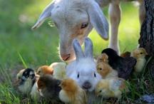 Chickens & Farm Animals / by Debra Perkins-Thoroughman
