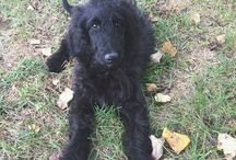 Willa Jean / Our golden doodle Willa Jean