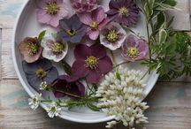 Flowers (Christmas Rose Helleborus/Hellebore) / by Isela Garcia