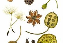 Seed pods / A collection of seed pods for illustration inspiration. Also useful gardening info.