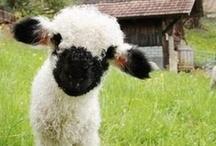 Fiber animals / Sheep, alpacas, llamas, bunnies, goats and other fiber animals.
