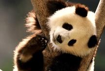 ~Panda's~