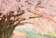 Cherry Blossoms / by Stephanie Somsuntan-Whitman