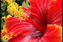 Hibiscus/Hibiskus / Kärlek till Hibiskus