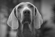 Weimaraners / by Susanne Bywater