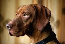 dog dayz