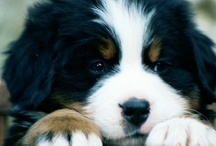 i ♡ my berner / in which i show my love for Bernese Mountain Dogs