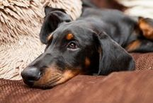 dobie love / Dobermans, Dobermanns, handsome dogs, regal dogs and majestic dogs / by Audrey Galang