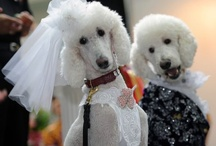 Poodles / Yes.  I have one. Wanna make something outta it?