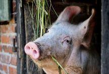 Barn Animals / by Nancy Allen