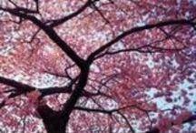 Cherry Blossoms / by Sarah Koustrup
