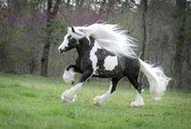 ~HORSES - Gypsy Vanner~ / by Caroline-Jeannine