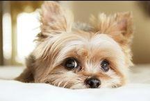 ~DOGS - Yorkshire Terrier~  / by Caroline-Jeannine