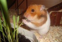 Husdjur - hamster / by Aina Lundkvist