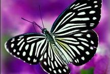 Butterflies and Moths / Beautiful butterflies and moths. Thank you for following. Have fun pinning.