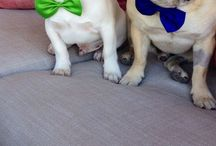 Frenchie Luv / by Stefani Probst