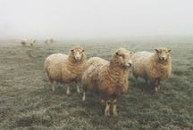 Origins of Wool / by Knits & Crafts