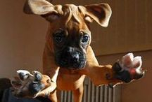 Boxer Dogs / by Cathryn Low