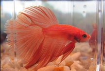 Aquariums. Betas. Fancys... / Beta fish and accessories.  Plus some fancy goldfish and cool aquariums. / by Kathy Golden