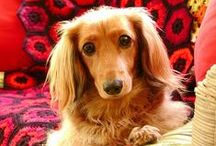 Darling Dachshunds / Little longhaired lovelies. / by Britta