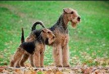 Welsh Terrriers