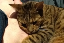 My Family & Other Animals / Our pets include Branston, the Bavarian Mountain Hound and Pickle & Lilly, two cats - Lilly is Bengal, Pickle a British Shorthair. Pics of them & other fab animals