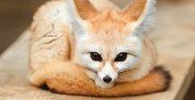 Fox Gumiho Kitsune