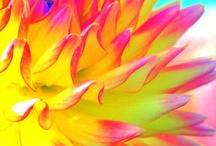 Dahling.... Dahlia / I love this flower,  I grew it at my first home....I had dinner plate dahlia's  dahling!!!!   enjoy.