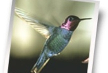 Hummingbirds 101 / If hummingbirds are your favorite fowl, then this board is just for you! We'll provide you with hummingbird migration patterns, species, tips and feeding guidelines.
