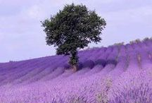 Lavender / by Laura Schmadel