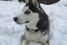 My Husky / Pictures of my Siberian Husky Max