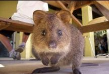 Australia's Cute Animals: Quokkas / The quokka has no fear of humans and it is common for it to approach them closely, particularly on Rottnest Island. / by Australia